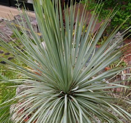 観葉植物 ユッカ ロストラータ 3号(9cm)ポット ガーデニング 寄せ植え 耐寒性 常緑 多年草 アウトドアリビング