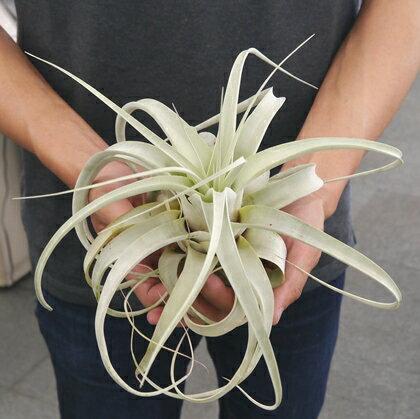 観葉植物 エアプランツ チランジア キセログラフィカ Lサイズ★(20〜25cm) エアープランツ