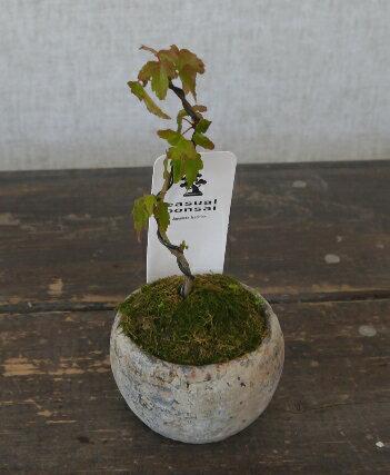 観葉植物 モダンミニ盆栽 カエデ 3号陶器鉢仕立て