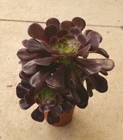 観葉植物 アエオニウム カシミアバイオレット 5号ポット