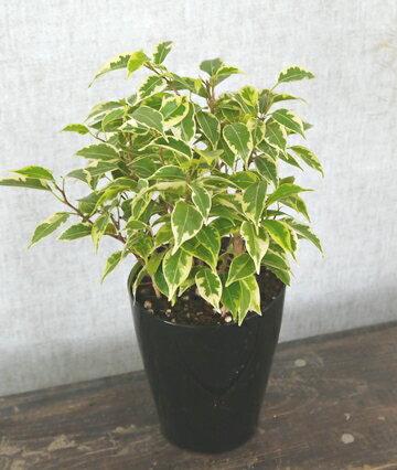 観葉植物 フィカス  ベンジャミナ  ラブリー  3、5号ポット 非耐寒性