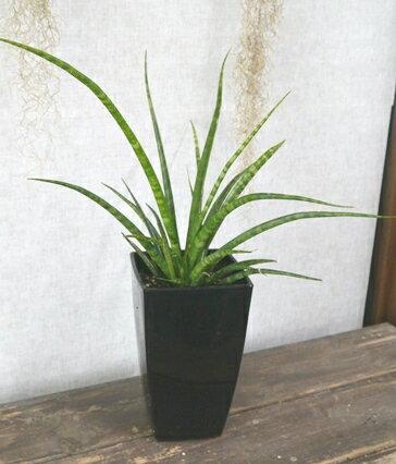 【観葉植物】 サンセベリア ファーンウッド 5号黒プラスチック角鉢(受皿なし) インテリアプランツ