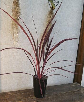 観葉植物 コルディリネ(コルジリネ)  バンクシー種  エレクトリックピンク  4号黒色プラ鉢入り