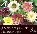 開花苗 クリスマスローズ オリエンタリス系 八重咲き 3号ポット実生苗 開花株