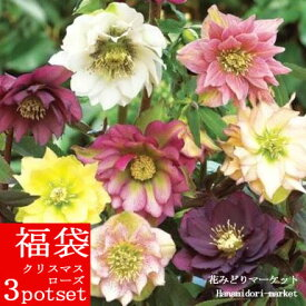 福袋 クリスマスローズ八重咲き 開花株3鉢セット 花色おまかせ 4〜6号鉢