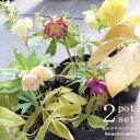 【開花株】【2ポットセット】クリスマスローズ オリエンタリス系 オーレア 八重咲き 5号鉢