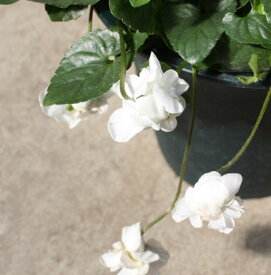 ニオイスミレ 八重咲き白花 4号ポット (オドラータとパルマスミレの園芸交配種)