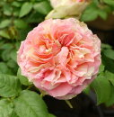 ☆ミニバラシンフォニーアイ3,5号ポット【バラ苗】【薔薇】