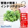 【観葉植物】ラウンド10.5—ペペロミアロタンディフォーリア