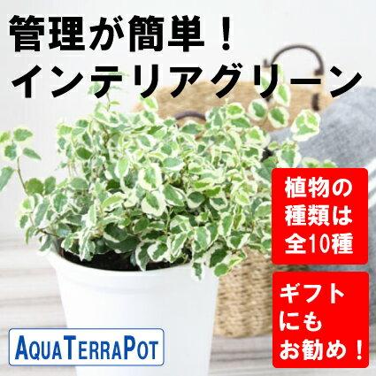 インテリアグリーン アクアテラポット ベーシック10.5タイプ 全10種 ギフト 底面給水 観葉植物 陶器 シュガーバイン アイビー ペペロミア