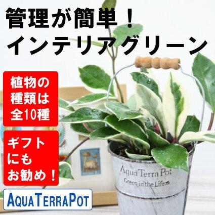 インテリアグリーン アクアテラポット ブリキ10.5タイプ(シルバー)  全10種 ギフト 底面給水 観葉植物 シュガーバイン アイビー ペペロミア