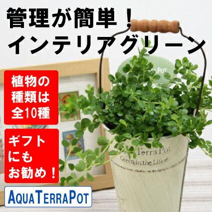 インテリアグリーン アクアテラポット ブリキ10.5タイプ(アイボリー) 全10種 ギフト 底面給水 観葉植物 シュガーバイン アイビー ペペロミア