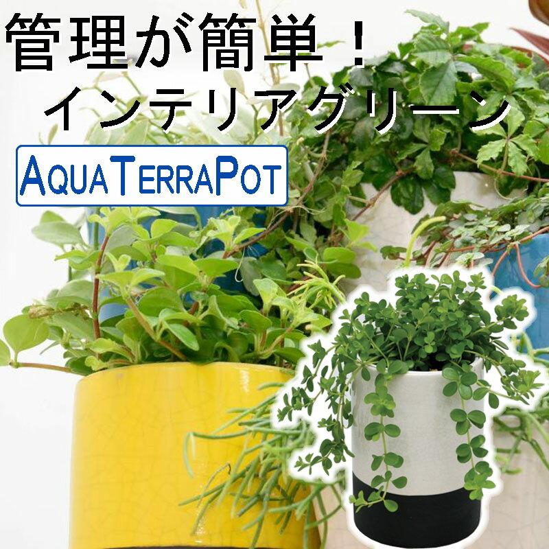 インテリアグリーン アクアテラポット メイズシリンダー10.5タイプ 全10種 ギフト 底面給水 観葉植物 シュガーバイン アイビー ペペロミア