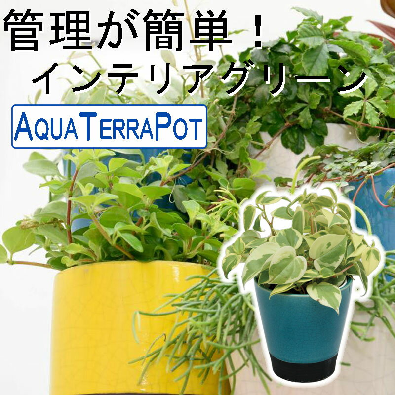 インテリアグリーン アクアテラポット メイズ10.5タイプ 全10種 ギフト 底面給水 観葉植物 シュガーバイン アイビー ペペロミア