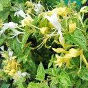 ロニセラ ミントクリスプ 3号ポット苗 ツル性低木
