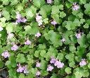 ワイルドアイビー シンバラリア ムラリス 3〜3.5号ポット苗