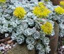 多肉植物 セダム 白雪ミセバヤ 2.5〜3号ポット苗