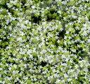 イブキジャコウソウ 白花 3〜3.5号ポット苗(タイム)