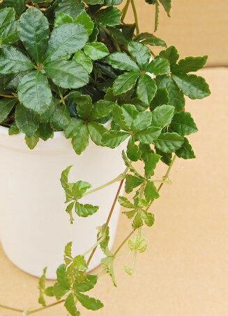 観葉植物 パーセノシッサスシュガーバイン 3号ポット苗 お手入れ簡単 人気のインテリアプランツ