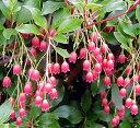 花木苗 ドウダンツツジ 紅更紗(ベニサラサ) 4,5号ポット苗 落葉低木 紅葉 ガーデンニング 樹木苗 庭木