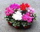 花苗花色を選べるガーデンシクラメン3号ポット花色:赤紫ピンク白2色咲き冬の花寄せ植え花壇苗シクラメン