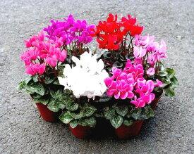 ガーデンシクラメン 選べる花色 3号ポット苗
