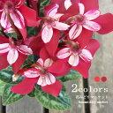 ガーデンシクラメン ジックス 全2色 レッド ワインレッド 3〜3.5号ポット苗