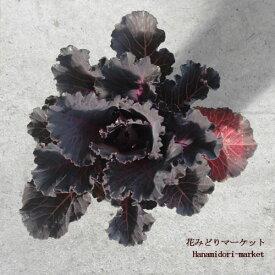 ハボタン 葉牡丹 ブラックリーフ 3〜3.5号ポット苗