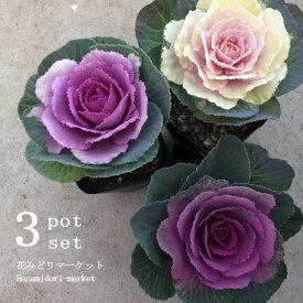 【3色セット】ハボタン (葉牡丹) 丸葉系(濃紫・淡紫・白)3.5号ポット苗 計3ポットセット