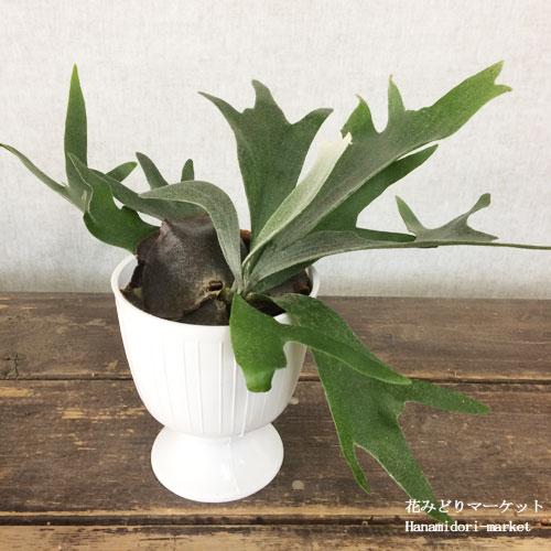 【観葉植物】 コウモリラン プラティセリウム ビフィルカタム 4.5号プラスチック鉢 非耐寒性多年草 インテリアプランツ