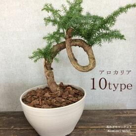観葉植物 ナンヨウスギ アロカリア盆栽仕立て 8号プラ鉢 アローカリア カニンガミー 南洋杉 常緑 針葉樹 インテリア インドア おしゃれ 個性的 かっこいい 丈夫 育てやすい