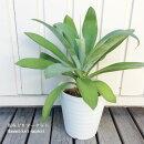 観葉植物アガベアテナータ7号ポットアティヌアータ多肉植物インテリアグリーンアウトドアグリーン