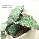 観葉植物サンセベリアキルキーシルバーブルー3号ポットプラスチック鉢カバー付き(穴無し/受皿なし)サンスベリアインドアプランツインテリアグリーン多肉植物