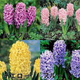 ヒヤシンス 3球植え 4号ポット 蕾〜開花株 「紫・ピンク・赤・白・青・ミックス」の中からお選び下さい。ヒアシンス 球根
