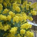 ミモザアカシア(アカシアデクレンス)3号ポット苗ガーデニングイングリッシュガーデンシンボルツリー
