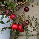 果樹苗クランベリーツルコケモモ3.5号ポット苗