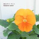 【3個セット】ビオラオレンジ3号ポット苗計3ポット