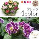 【2ポット選べる】鉢花 プリムラ ポリアンサ(アコーリス) ロココ姫3.5号鉢 開花株 花色 全4系統からお選び下さい プレミアムジュリ…