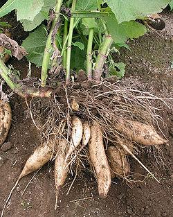野菜苗ヤーコン苗 3〜3.5号ポット苗 家庭菜園 ガーデニング ベランダ菜園 健康野菜