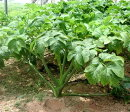 【M】【野菜苗】明日葉アシタバ3号ポット苗お手軽家庭菜園ですあしたば