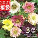 【送料無料】クリスマスローズ 八重咲き品種 4〜5号ポット苗 蕾〜開花株 計3ポットセット