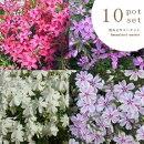 【セット】芝桜シバザクラ3号ポット花色いろいろミックス10ポットセット