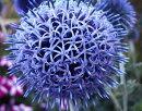 【イングリッシュガーデン】エキノプスるり玉あざみブルーグロー3〜3,5号ラベル苗宿根草