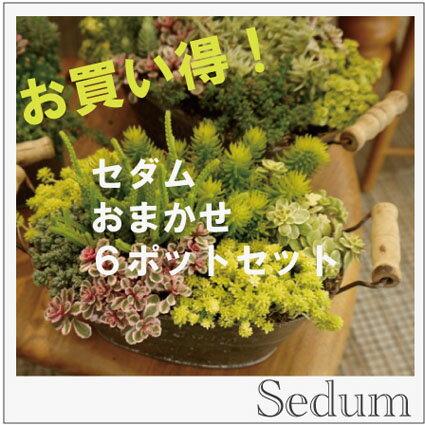 【6ポットセット】観葉植物 セダム おまかせ6ポットセット 3号サイズ 多肉植物