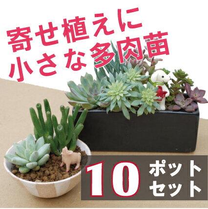 【10個セット】【多肉植物】 小さな多肉植物苗(2〜2,5号) 10ポットセット 観葉植物 インテリアグリーン