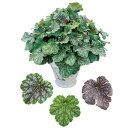 花苗 ヒューケラ ドルチェ チョコミント 3号ポット PW(PROVEN WINNERS) 耐寒性 常緑 多年草 ツボサンゴ カラーリーフ 寄せ植え …