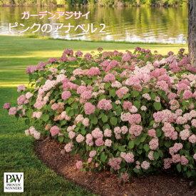 ガーデンアジサイ アナベル2 5号ポット苗 ハイドランジア あじさい 花苗 庭木 シュラブ アメリカアジサイ PW プルーヴンウィナーズアナベル ピンク