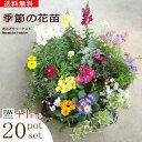 【送料無料】季節の花苗 20ポットセット+PW花苗1ポットプレゼント!!花色ミックス寄せ植えやギフトに最適!