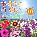 アンゲロニアと暑さに強いプレミアム花苗10ポットセット3〜3.5号ポット花苗品種おまかせ【10ポットセット】 ギフト 寄せ植え ガーデニ…