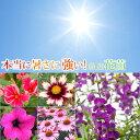 花苗セット アンゲロニアと暑さに強いプレミアム花苗10ポットセット 3〜3.5号ポット 花苗品種おまかせ【10ポットセッ…